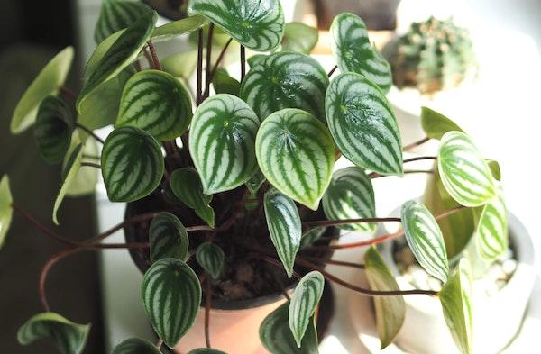Peperomia or radiator plants piperaceae houseplant