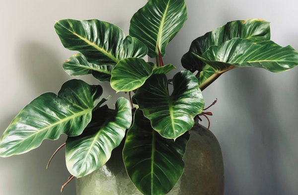 Philodendron Philodendron houseplant