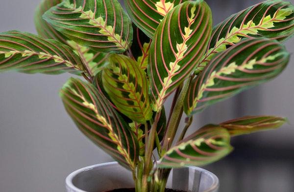 Prayer Plant Maranta leuconeura houseplant