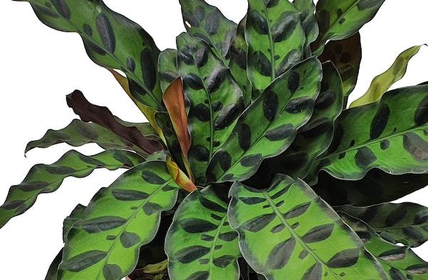 Rattlesnake Plant Calathea lancifolia houseplant