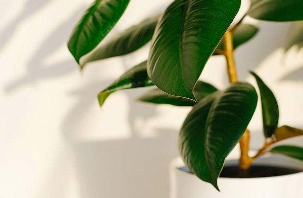Rubber Plant Ficus elastica houseplant
