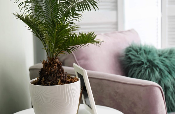 Sago Palm Cycas revoluta houseplant