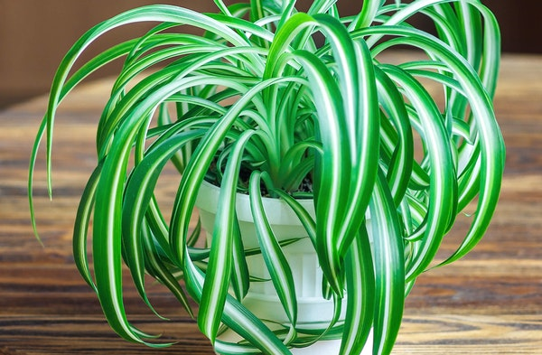 Spider Plant Chlorophytum comosum houseplant