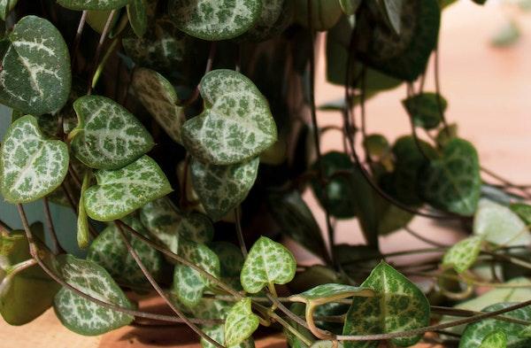 String of Hearts Ceropegia woodii houseplant