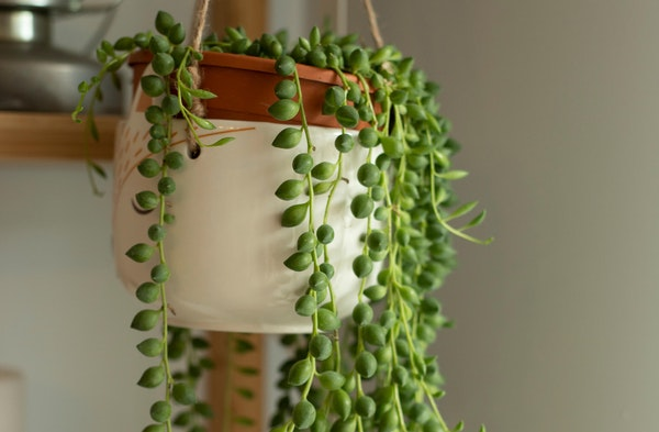 String of pearls senecio rowleyanus houseplant