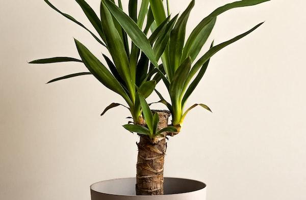 Yucca Cane houseplant