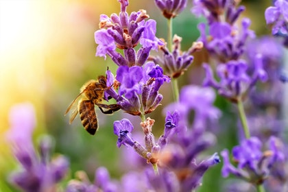 Bee on Lavender with sunlight in background