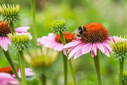 Bumble Bee on Echinacea flower in garden