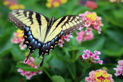 Swallow Tail Butterfly with Pink and Yellow Lantana Flowers