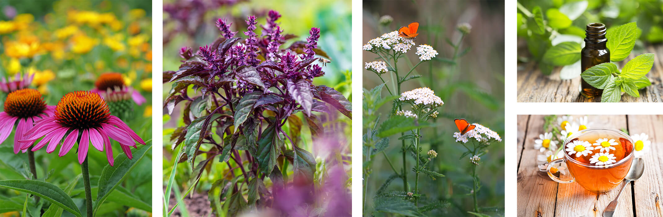 A collage of 5 images: echinacea flowers in garden with yellow blurred flowers in background, purple basil in garden,  white yarrow with orange-red butterflies, a tincture of peppermint on wood near peppermint leaves, and a cup of camomile tea with camomile flowers in it.