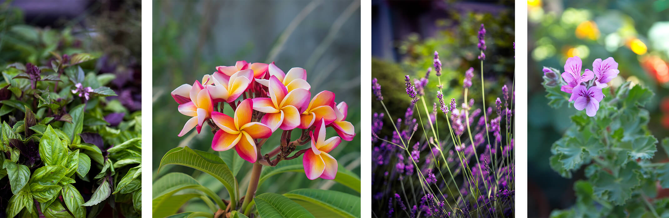 a Collage of 4 scented plants: green and purple basils, pink and yellow plumeria, lavender, and purple scented geranium