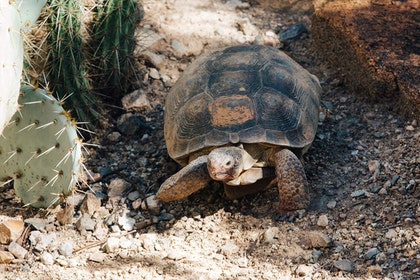 Desert Tortoise in desert near rocks and cacti