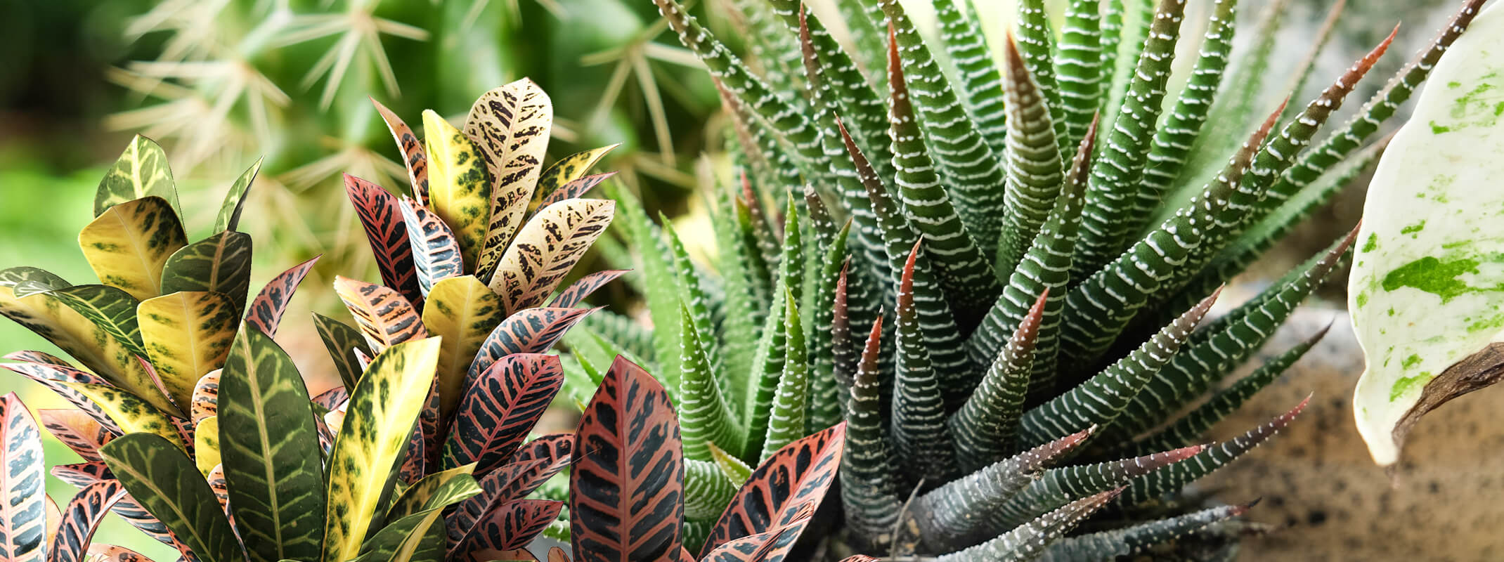 houseplants that love the light which included crotons, cactus and succulents