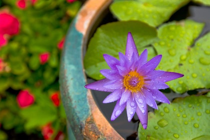 Water Garden with purple water lily in turquoise and terracota pot with red blurred flowers in the background