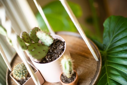 3 different cactus plants of varying sizes and types- each in their own pot on a round wooden hanging shelf with a large-leaved houseplant in the background