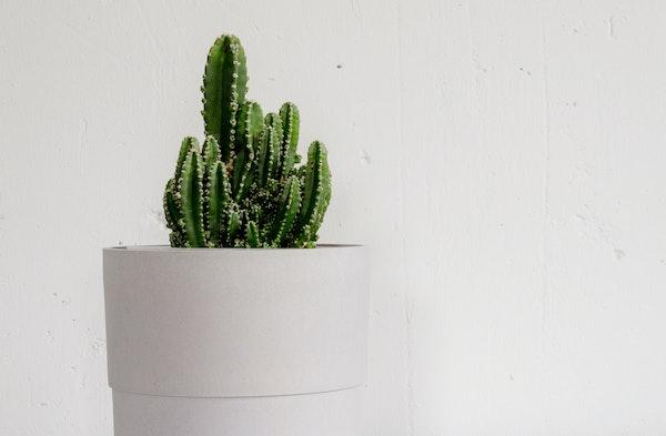 Peruvian Cactus Cereus peruvianus houseplant