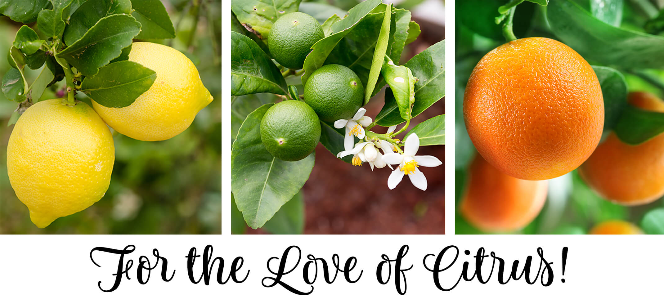 Text: For the Love of Citrus with 3 image closeups: lemons, limes with flowers, and oranges each on trees