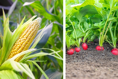 2 images: a closeup of a corn stalk in the garden and radishes growing in the garden