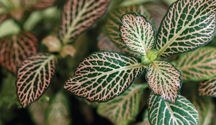 Nerve plant houseplant up close shows dark green leaes with light veins and pink -ish color aglow