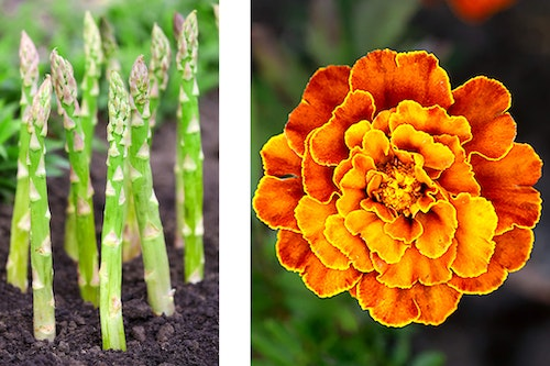 2 images - asparagus growing and a closeup of a marigold flower