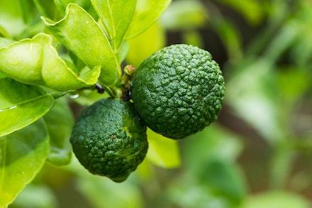 Bergamont - Kaffir Limes on Tree