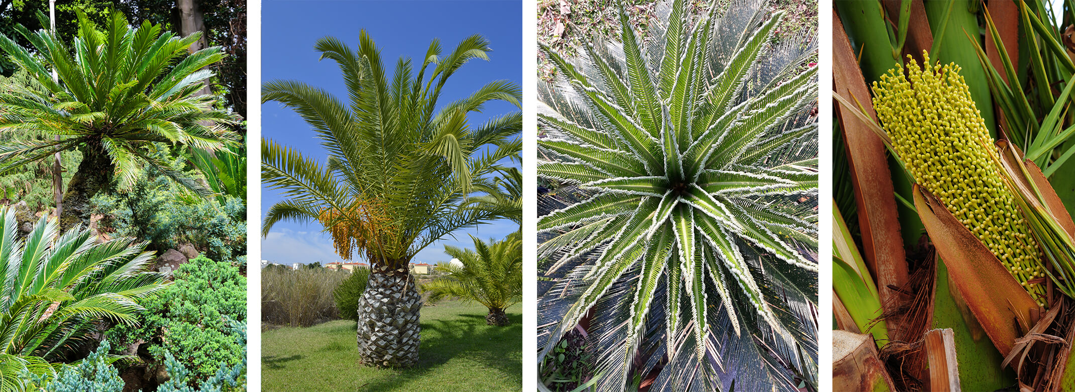 4 images of different palm tree varieties