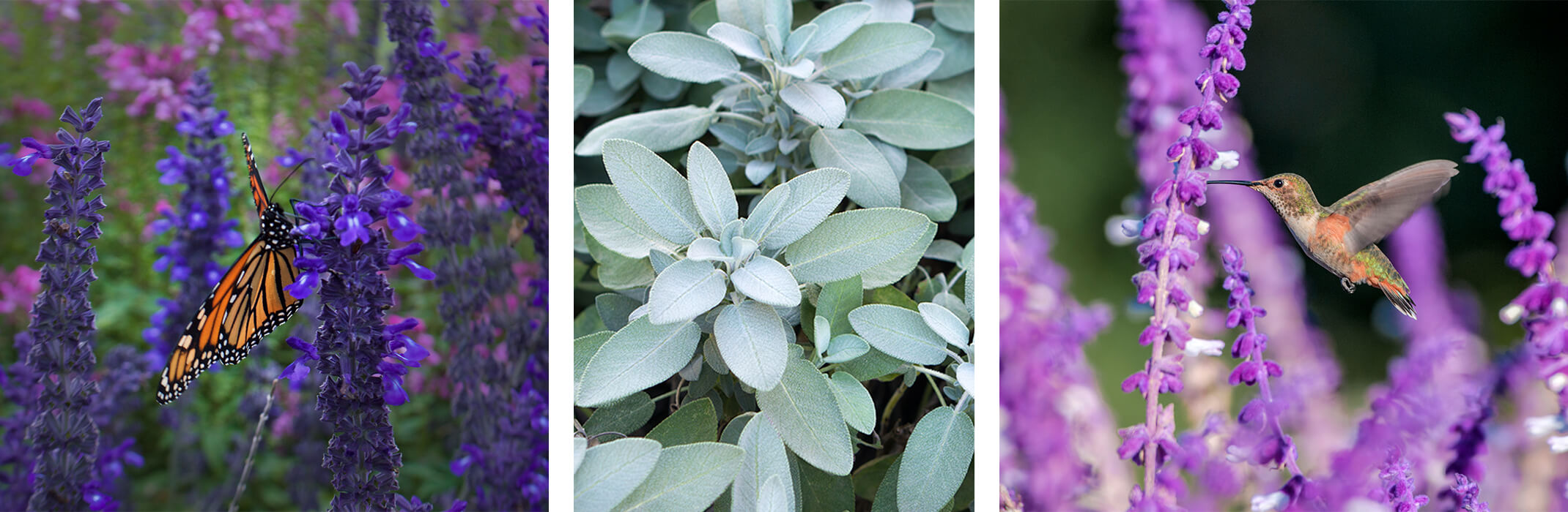 A collage of 3 images: Russian sage with a monarch butterfly, edible sage, and Salvia leucantha with hummingbird