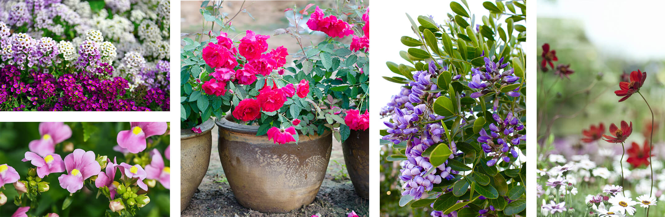 A collage of 5 images: purple, pink and white alyssum, purple nemesia, pink roses in a pot, Texas mountain laurel blooms, and chocolate cosmos in field with white daisies in background