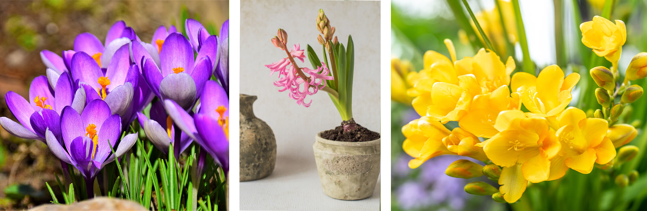 A collage of 3 images: purple crocus flowers, pink hyacinth in a pot near a vase, and yellow freesia blooms