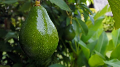 Single avocado hanging from tree ready to be picked