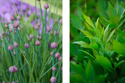 2 images: chives in garden and lovage in garden