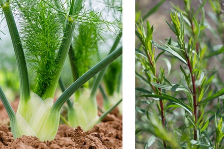2 images: fennel in garden and tarragon plant