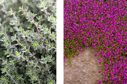 2 images: Silver Queen Thyme and Mother of Thyme