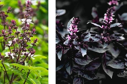 2 images: Sweet Basil and Red Rubin Basil