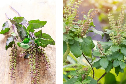 2 images: fresh Thai Basil on a wooden table, and Holy Basil growing in the garden
