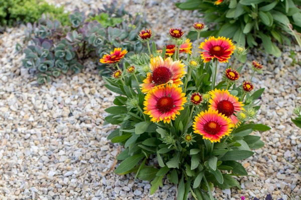 Gaillardi flowers growing in a garden surrounded by pebbles
