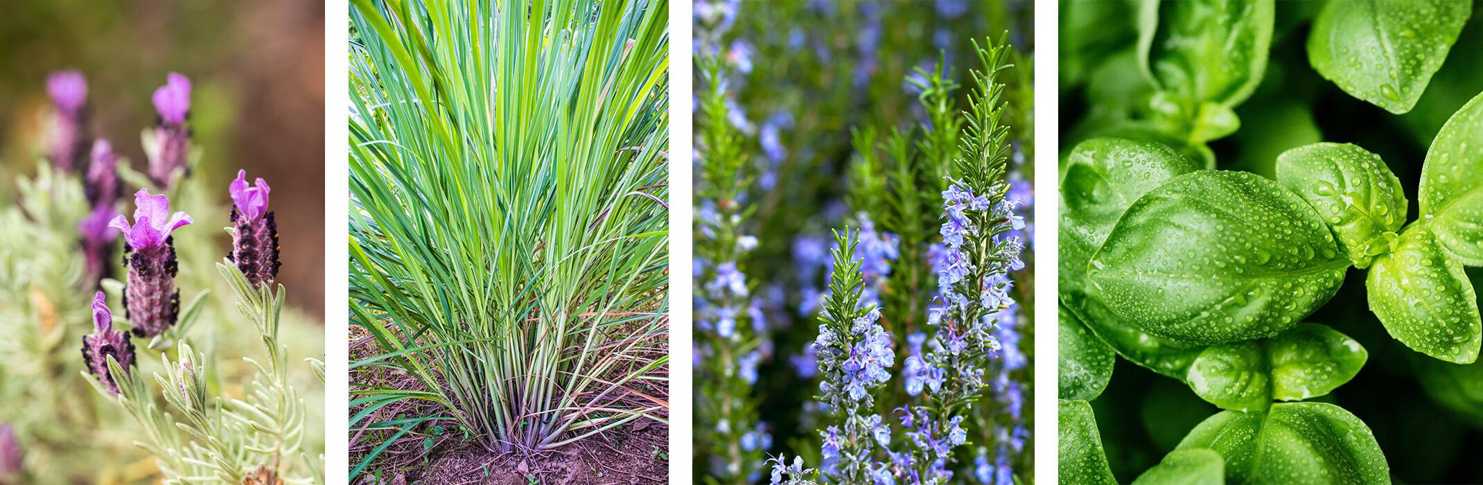 4 images: lavender closeup, lemongrass, rosemary, and basil