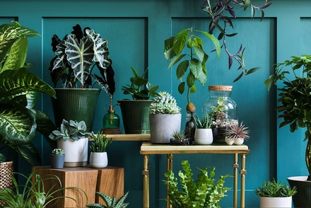 A wide variety of houseplants on different size tables, in a dark teal blue room
