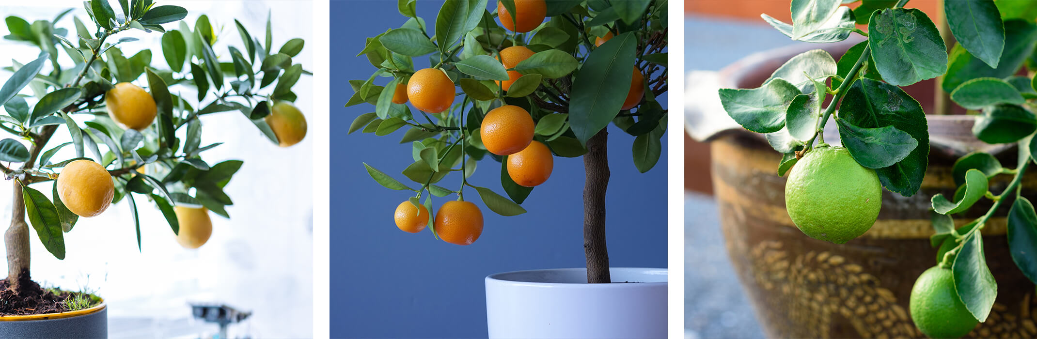 3 images: a potted dwarf lemon tree, a potted dwarf orange tree, and a potted dwarf lime tree