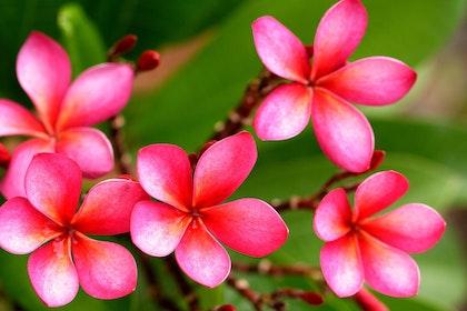 Closeup of bright pink plumeria blooms
