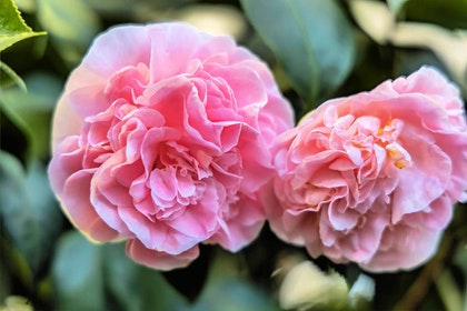 Pink Camellia japonica 'Debutante' closeup