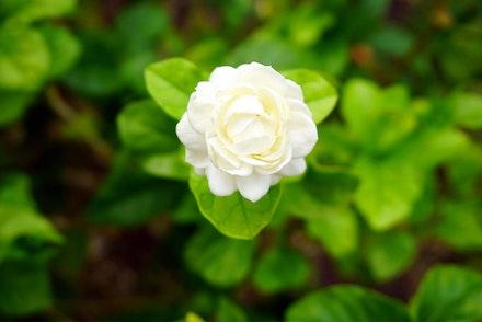 Arabian Jasmine shrub