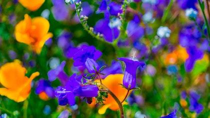 Penstemon and California Poppies