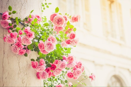 Pink climbing roses on a column