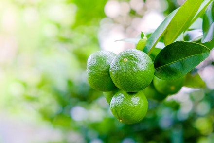 A close up of key limes growing on a tree