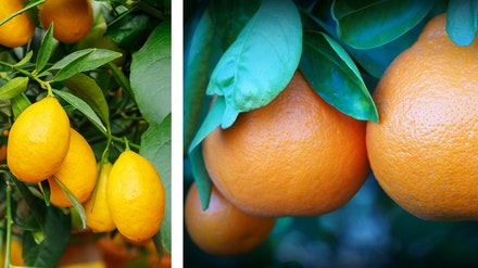 2 images: tangelos and limequats