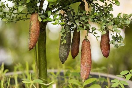 Australian Finger LImes growing on a tree