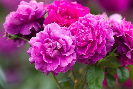 Intrigue Rose Bush
