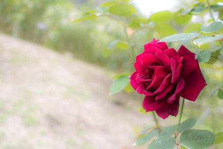 Oklahoma Rose Bush