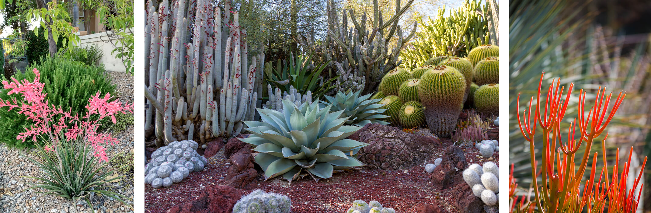 3 images: Red Yucca, a variety of cacti and succulents, and fire stick cactus